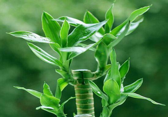碧绿的富贵竹