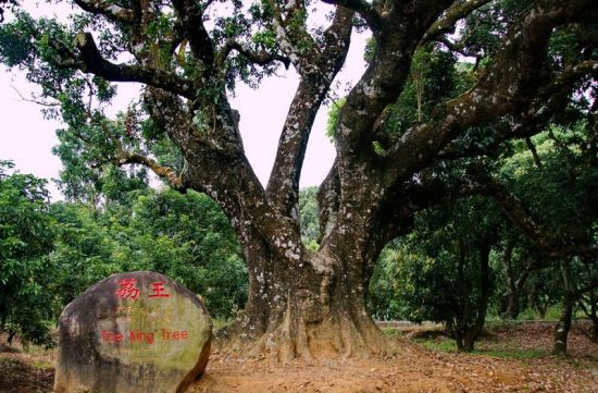 世界最老的荔枝树