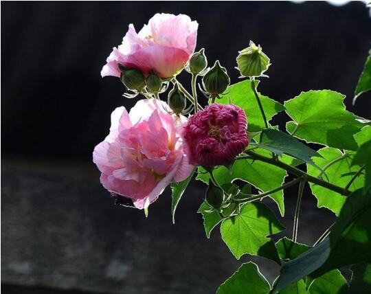 木芙蓉花什么季节开花图片