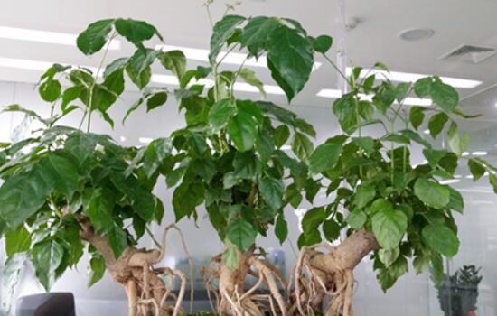 幸福树叶子卷曲下垂怎么办?幸福树叶子卷曲下垂的五种解决办