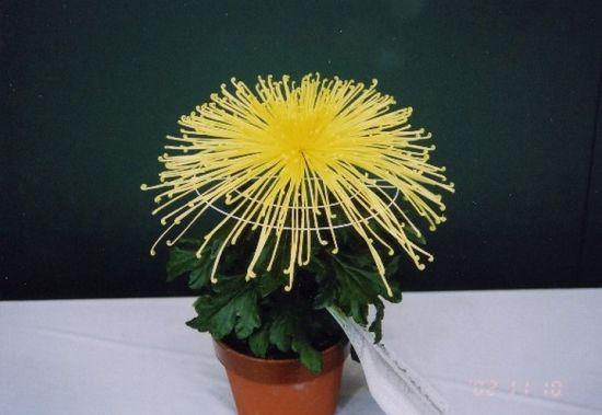矮化的盆菊
