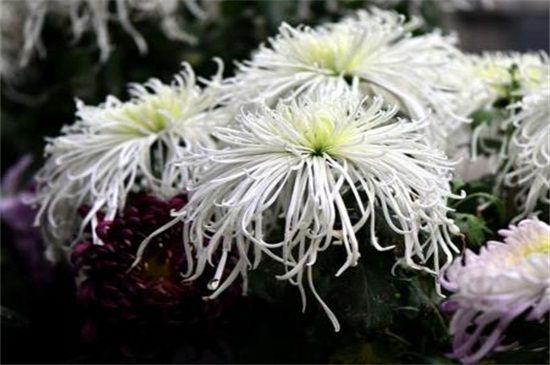 白色菊花花语是什么?白色菊花代表什么意思(哀悼/怀念)