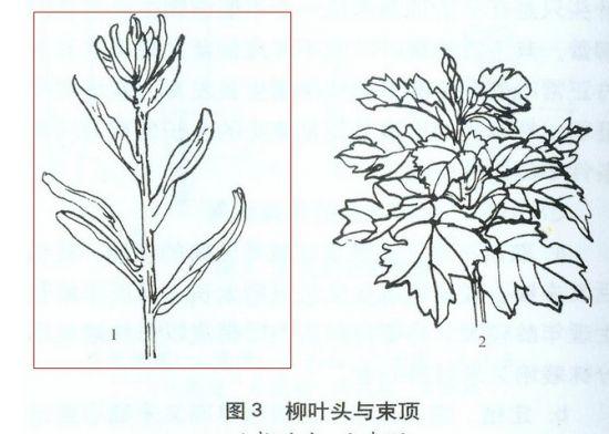 菊花生长出柳叶头怎么办?菊花长出柳叶头的解决办法