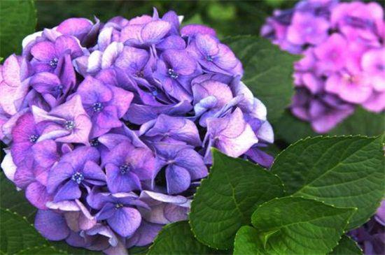 紫绣球花的花语是什么?团聚永恒和残酷的爱