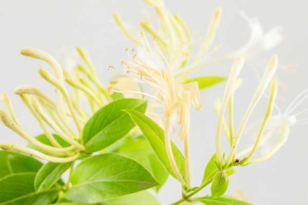 金银花叶子可以泡水喝吗,叶子泡水的功效与作用
