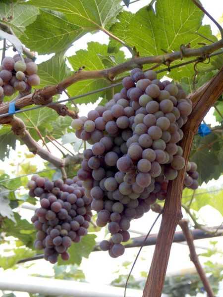 吃葡萄的好处,葡萄的营养价值