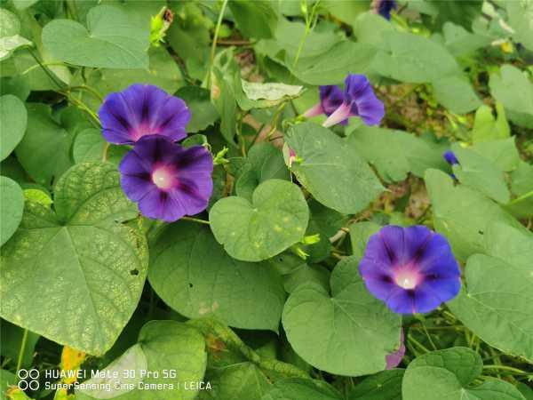 牵牛花的颜色是什么,什么时候开花