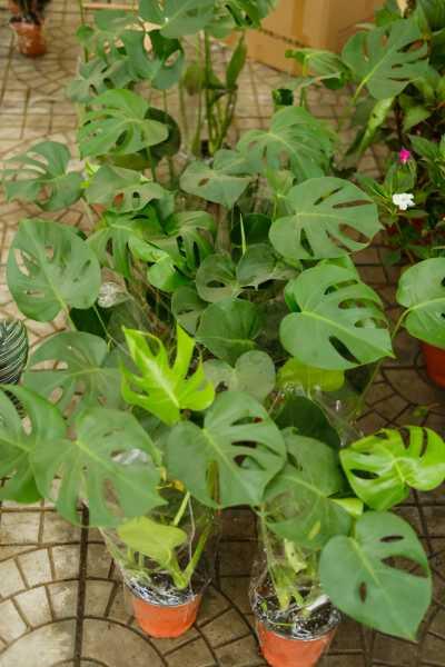 仙洞龟背竹怎么养,仙洞龟背竹图片