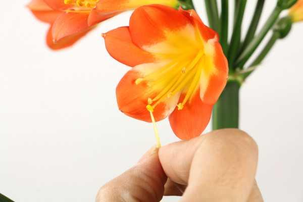 君子兰是什么花,是室内花还是室外花