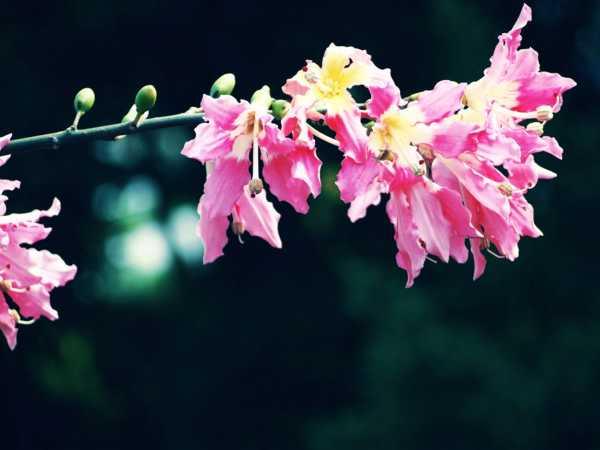 美丽异木棉的病虫害和防治