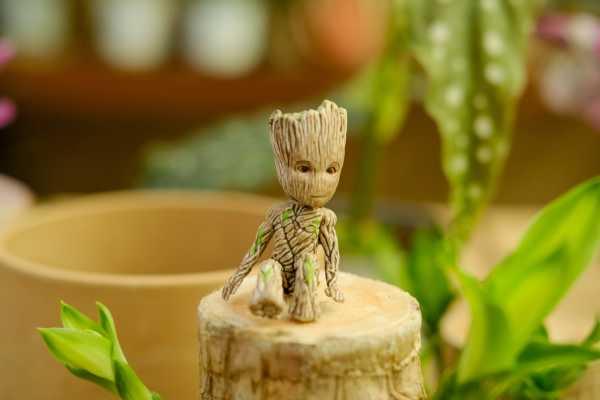 巴西木怎么修剪,打顶后多久发芽