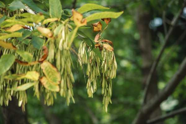 白蜡树的病虫害防治