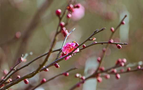 梅花的品质,梅花的象征意义是什么