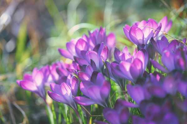 紫番红花的病虫害防治