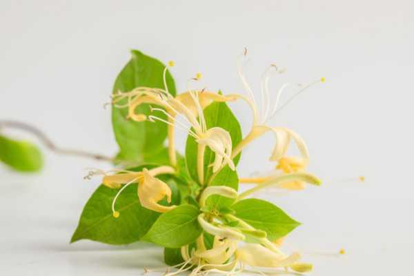 金银花叶子可以煮水吗,叶子煮水的功效