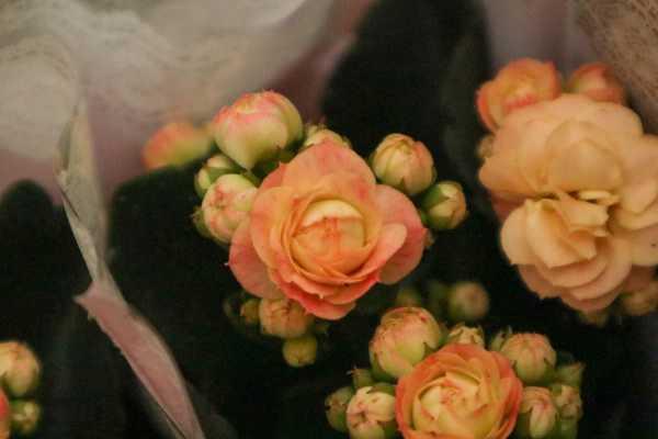 """长寿花开花分散不旺盛,一个""""蛋黄""""喂下去,棵棵冒花拦不住"""