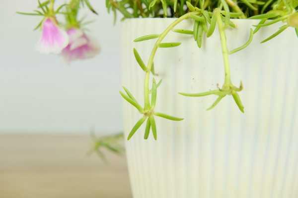 太阳花能放在室内吗,室内养能开花吗