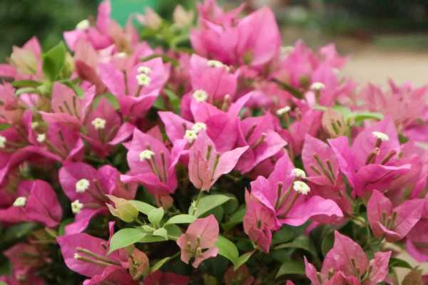 三角梅一年开几次花,几月开花