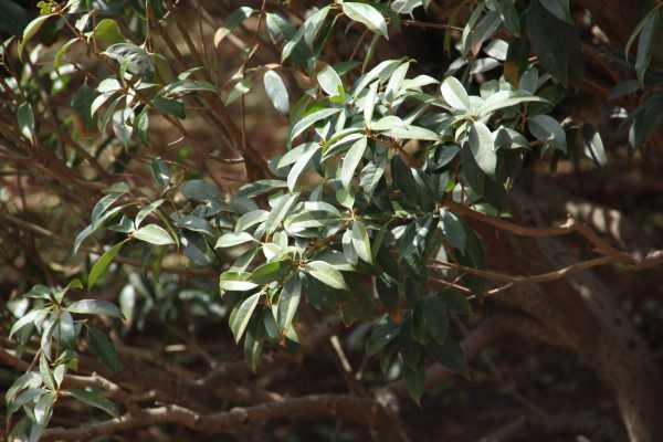 桂花泡茶喝有什么作用,桂花泡茶的做法