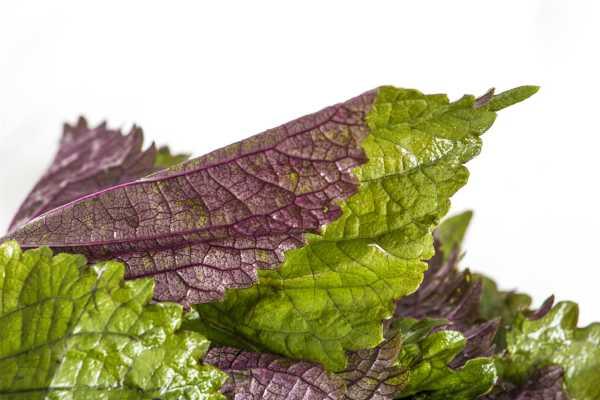 紫苏梗的功效与作用,紫苏叶的功效
