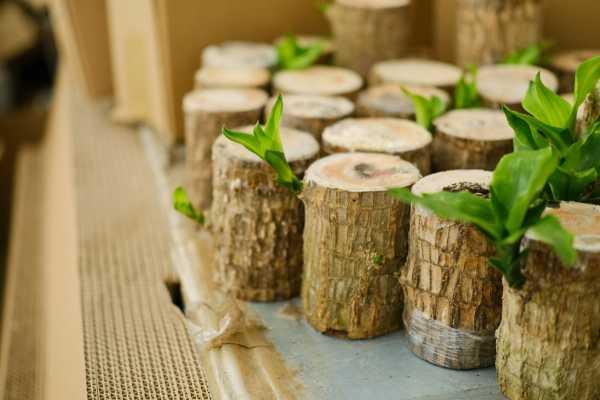 巴西木的病虫害防治方法