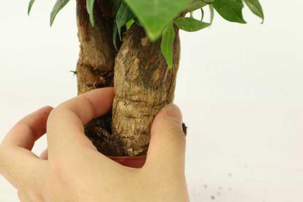 发财树小苗多久能长出大树,能浇啤酒吗