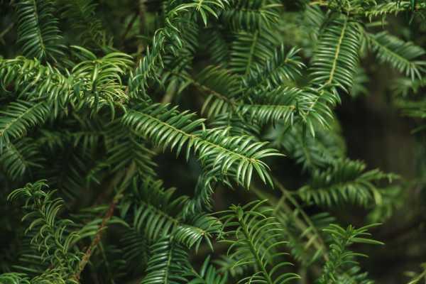 红豆杉扦插方法视频图片