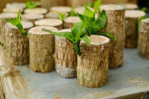 巴西木怎么移植,移植后怎么养