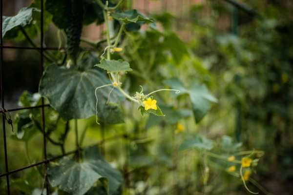 阳台种黄瓜常见病害及防治方法