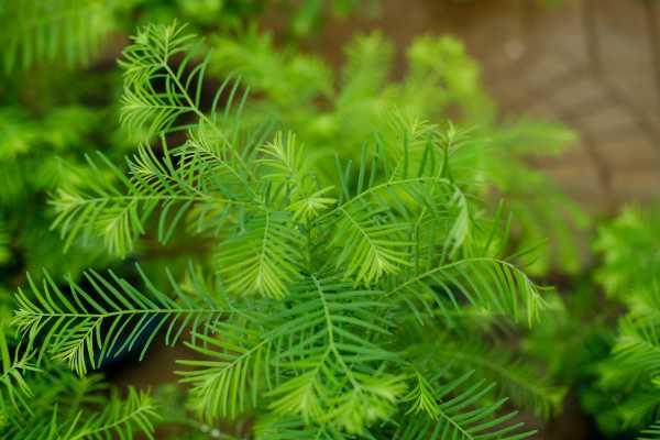 水杉常见病虫害防治