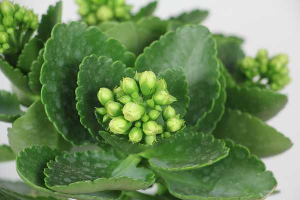 长寿花是多年生植物吗,叶子上长白霜然后变干是怎么回事