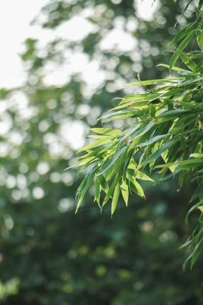 竹子的人生寓意,象征什么精神品质