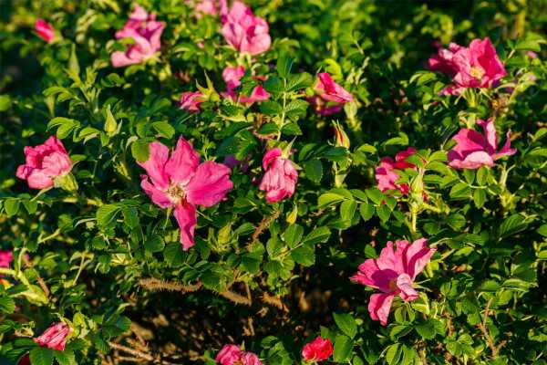 小玫瑰花底部叶子发黄的原因
