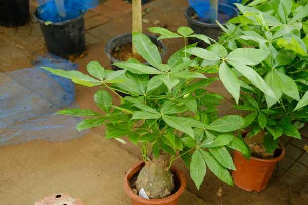 发财树是怎么培育出来的,是嫁接出来的吗
