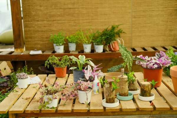 箭羽竹芋的病害及其防治方法