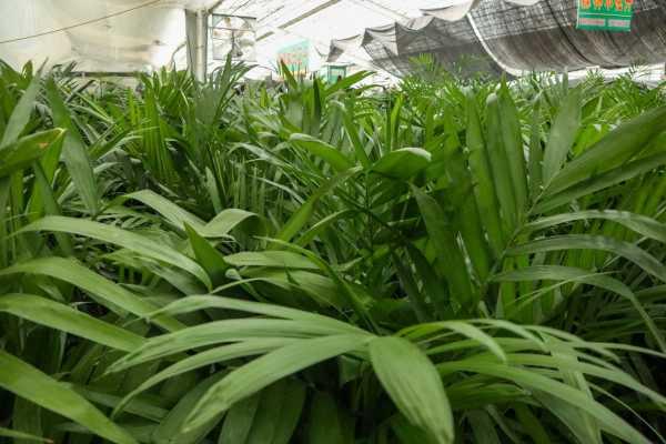 夏威夷椰子叶子发黄怎么办