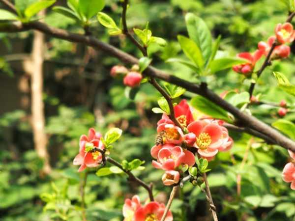 贴梗海棠的病虫害防治