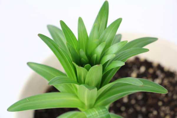 百合怎么种,种植需要注意什么