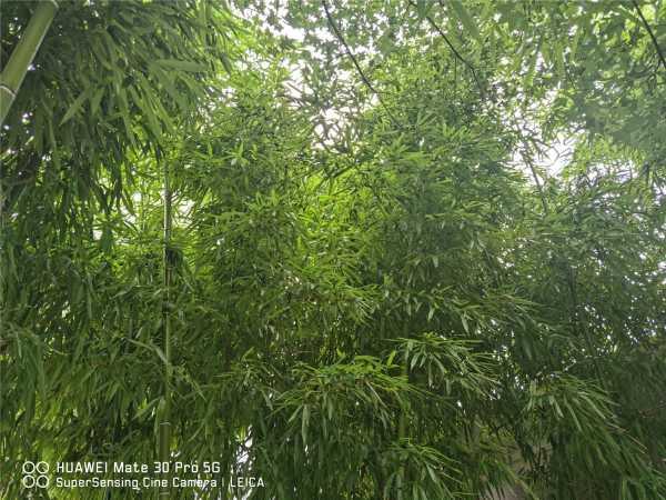 竹子叶尖发黄怎么办