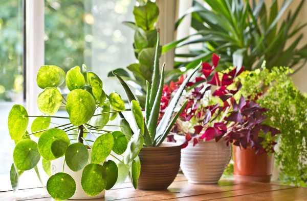 六月菊的养殖方法和注意事项