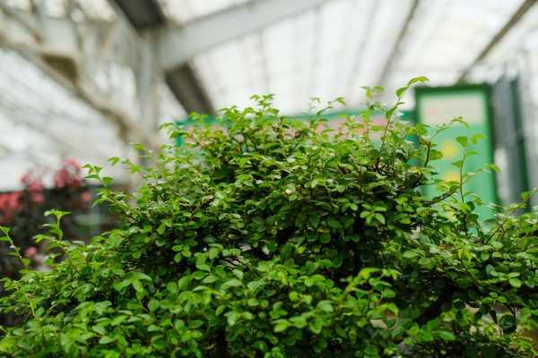 榆树有几种品种,哪个比较珍贵