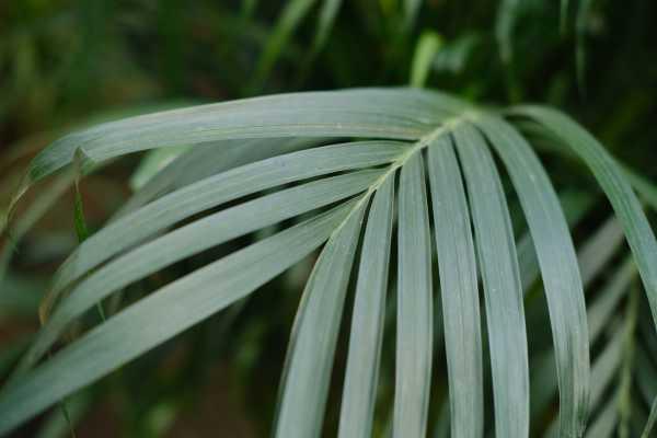 散尾葵怎么养才茂盛,散尾葵图片