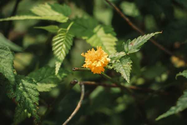 棣棠花的虫害及防治方法