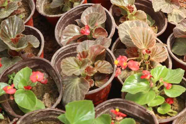 新买的四季海棠怎么养