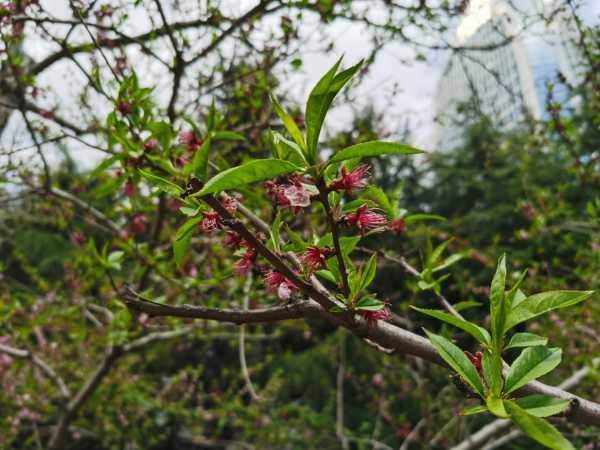 桃花播种方法,桃花是怎样播种的