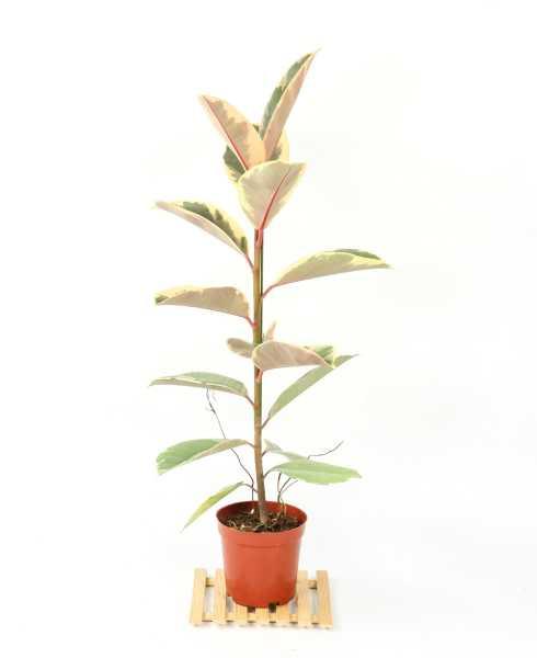 橡皮树适合放在家里养吗,可以在什么地方养