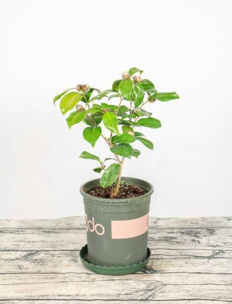 茶花压条多久生根,空中压条繁殖技术