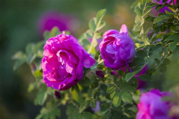 玫瑰花叶子上有白色的东西怎么办,长白色的毛是怎么回事