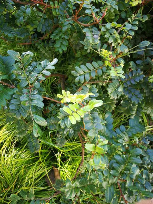 清香木掉叶子是怎么回事,掉叶怎么办