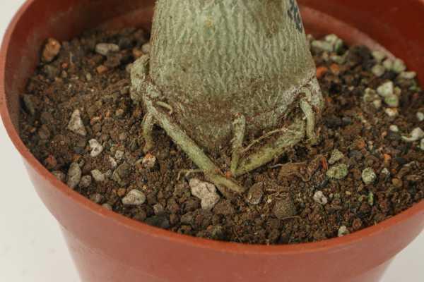 沙漠玫瑰小苗怎么养,怎样让根部膨大